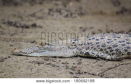 A saltwater crocodile baby lying in the mud