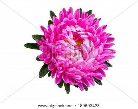 Isolated pink blossom gerbera or daisy. Colorful flower on white background, top view.