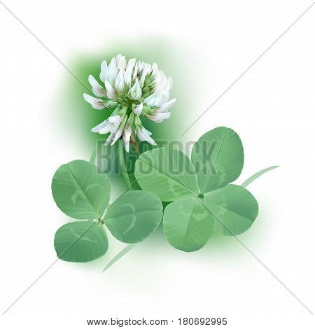 White Clover - Trifolium. Hand drawn vector illustration of a white clover flower, quarter foil and regular leaf mixed with grass blades, on white background.