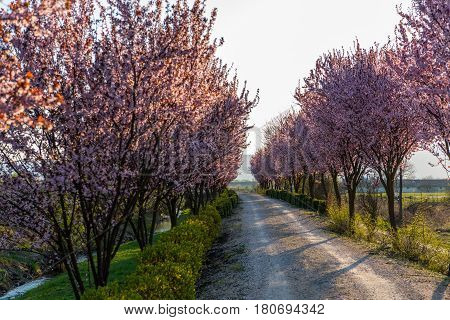 Beautiful Rural road surrounded by trees in bloom