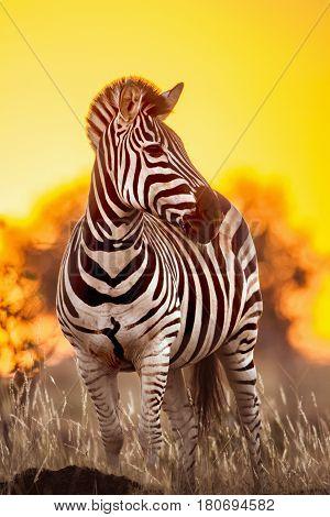 Plains zebra in Kruger national park, South Africa ; Specie Equus quagga burchellii family of Equidae
