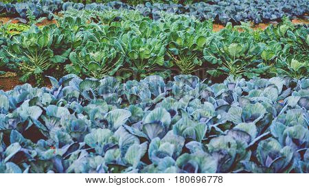 Natural background. Chinese kale Lettuce garden. Fresh from the garden.Flowering kale