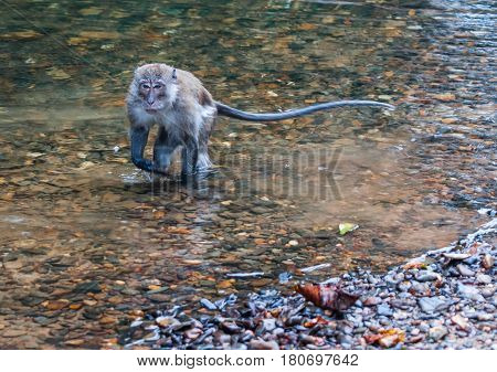 Scenic view of a monkey gamboling along the river  in the tropical rain forest of Khao Sok sanctuary Thailand