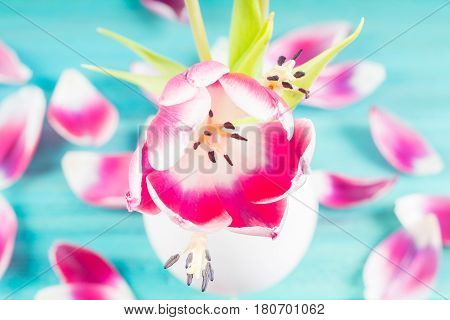 Withered Pink Tulips In A White Vase, Fallen Petals On A Blue Wooden Background