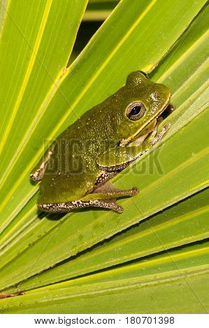 A Barking Tree Frog on a Saw Palmetto