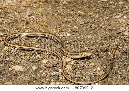 A Slender Glass Lizard foraging on the ground