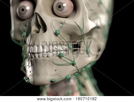 Anatomy illustration showing skull and lymph nodes on face. 3d illustration