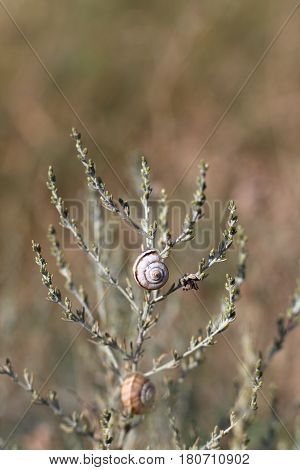 Steppe Snail On The Grass