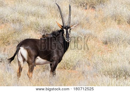 Small Group Of Mature Sable Antelope On A Farm In South Africa