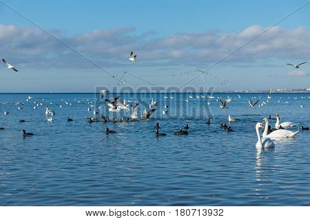 A lot of waterfowl: coot or flatted (lat. Fulica atra) mute Swan (lat. Cygnus olor) and silver gull (lat. Larus argentatus) on the blue surface of the Black sea in Anapa Krasnodar region. Wintering