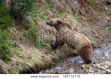 Brown bear at the stream eats grass. Animals