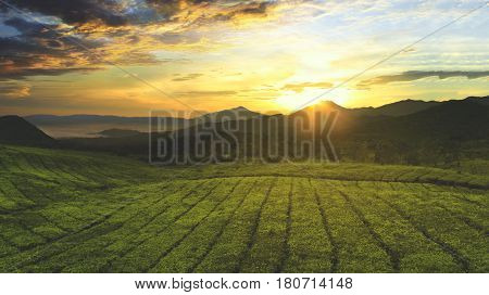 Aerial view of tea plantation with sunrise view in the morning shot