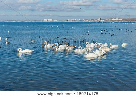 A lot of waterfowl: coot or flatted (lat. Fulica atra) Mallard (lat. Anas platyrhynchos) mute Swan (lat. Olor Cygnus) wintering in the Black sea city of Anapa in Krasnodar region. The blue expanse of water
