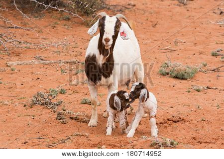 Goat Kids Playing In A Pen With Mother Goat And New Born Baby Goats.