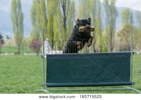 Rottweiler on agility competition over the bar jump. Proud dog jumping over obstacle. Selective focus on the dog