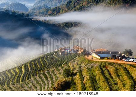 Tea plantation beautiful landscape famous tourist attraction at Doi at Doi Ang Khang Chiang Mai Thailand