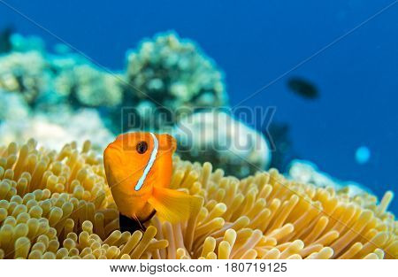 Small yellow fish in the Indian Ocean Maldives