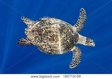 Sea turtle in The Indian Ocean Maldives