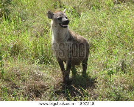 Hyaena Is Hungry