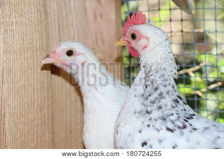 Two Black and White Bantams in Their Chicken Coop
