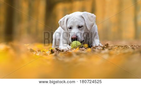cute young labrador retriever dog puppy plays with tennis ball in forest - abstract yellow background