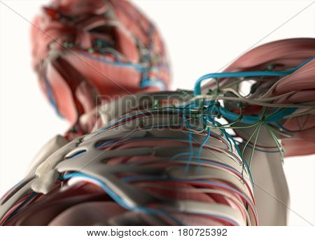 Anatomy torso showing rib cage, lings, shoulders. 3d illustration.