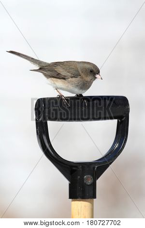 Dark-eyed Junco on a shovel handle in winter