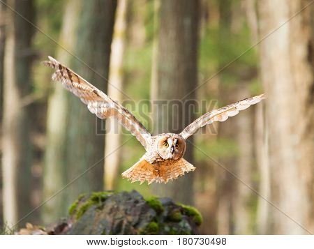 Long-eared owl flying in forest - Asio otus