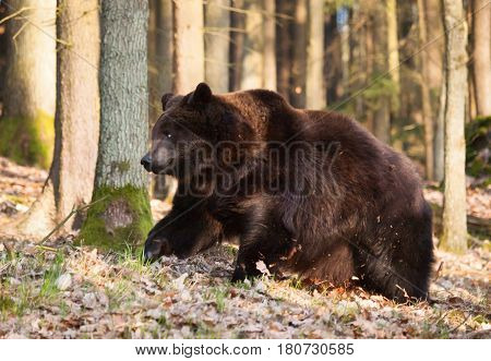Usrsus arctos - Common brown bear in forest in springtime