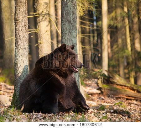 Ursus arctos arctos - Eurasian brown bear in forest