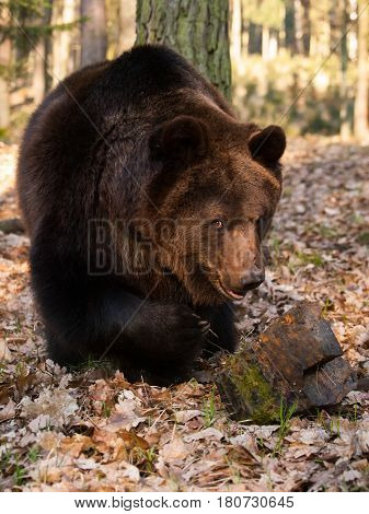 Prortrait of young eurasian bear in forest - Ursus arctos