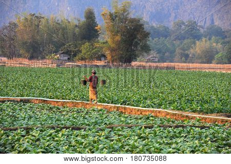Ban Kong Lo, Laos - 19 january 2012: people walking on Tobacco plantations at the village of Ban Kong on Laos