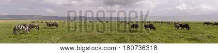 Wildebeest And Zebra In Panorama, Ngorongoro Crater, Tanzania