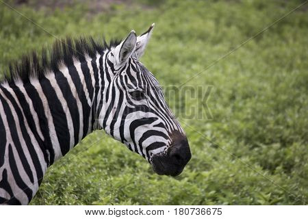 Portriat Of Zebra, Ngorongoro Crater, Tanzania