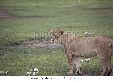 Lioness Standing In Field, Ngorongoro Crater, Tanzania