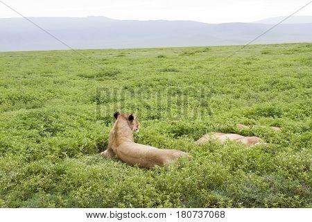 Lioness On Guard, Ngorongoro Crater, Tanzania