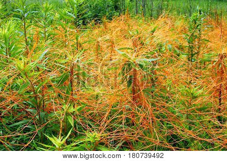Dodder (Genus Cuscuta) is a parasitic plant that is totally dependent on other host plants for survival.