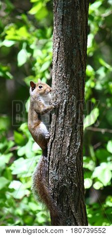 Squirrel climbing a tree at Monte Sano State Park in Alabama.