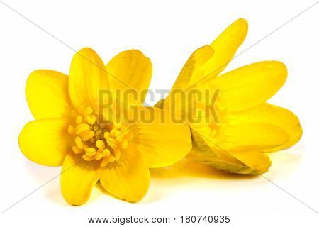 ficaria verna yellow spring flowers isolated on white background.