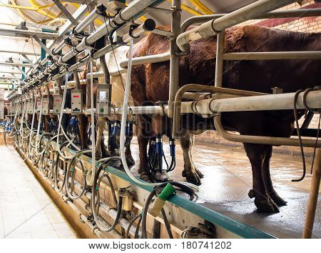 Cow milking facility and mechanized milking equipment in the fram