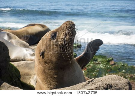 Sea Lion puyppy - baby seal on the beach, La Jolla, California.