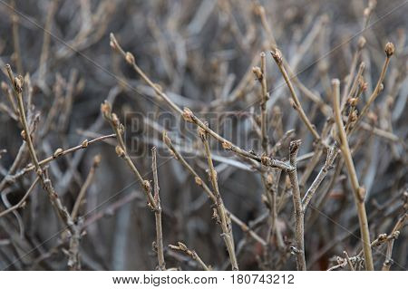 Background Of Gloomy Branches, On Which The Buds Swell.