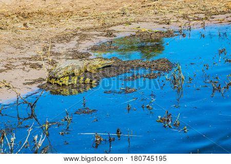 Crocodile resting in shallow water. Botswana Chobe National Park, the river Zambezi
