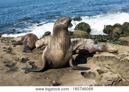 Sea Lion - family seal on the beach, La Jolla, California.