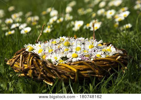 Lot of daisy in wicker basket on green grass with lot of daisy