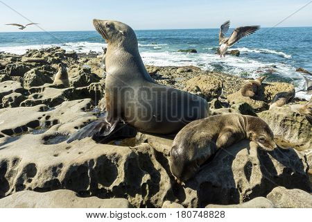 Sea Lion female - mum with baby seal on the beach, La Jolla, California.