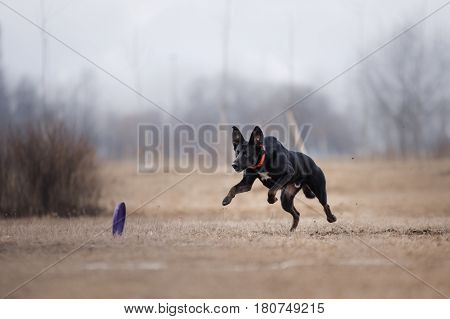 Dog Catching Flying Disk