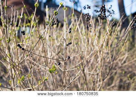 Dry Bush With Berries