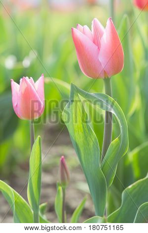 Gentle Couple Of Romantic Tulips Flowers