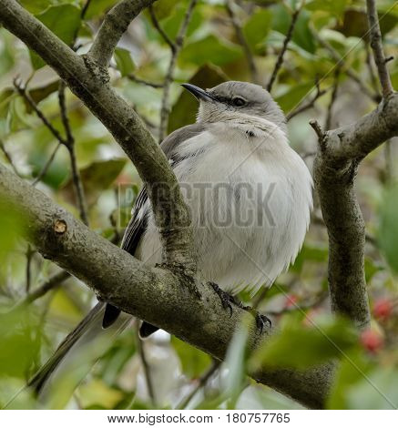A Northern Mockingbird (Mimus polyglottos), a songbird known for mimicking the songs of other birds, sits in a Holly Tree in the Eastern Neck Wildlife Refuge in Maryland USA.